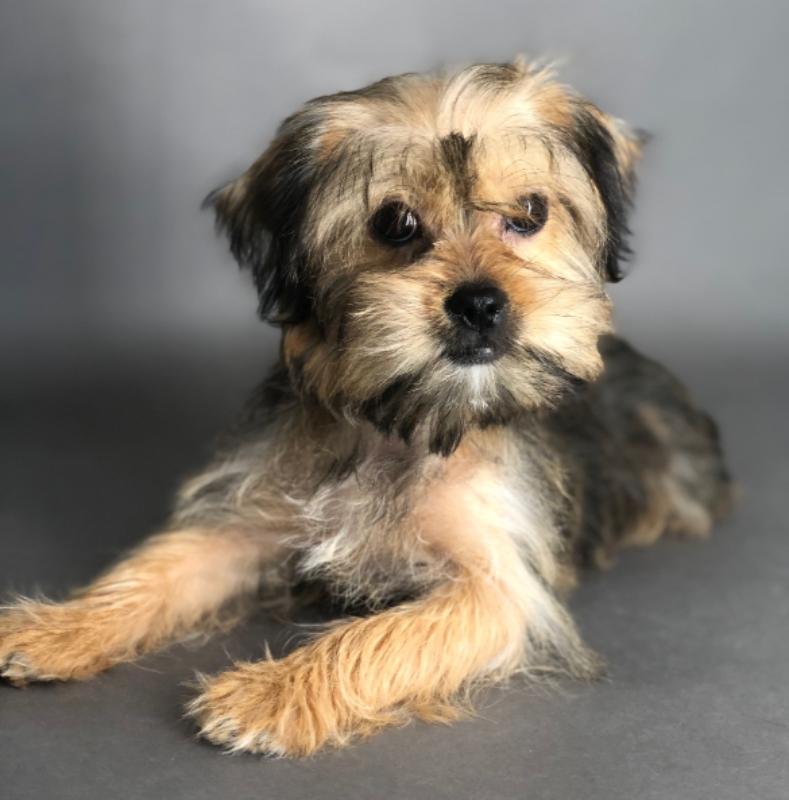 #4567 - Female Shorkie (Shih-Tzu/Yorkshire Terrier)