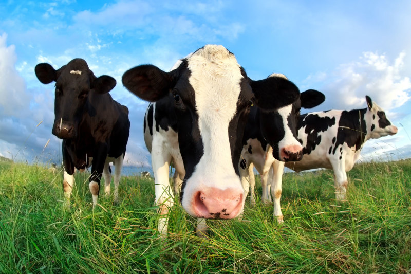 What Leaders can Learn from Cow Names