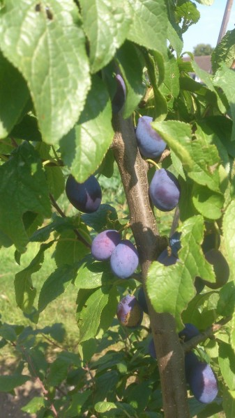 Plums on Plot 48