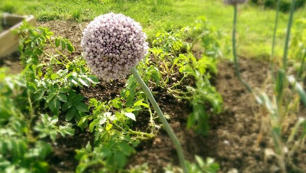Onion flower seeds on Plot 48