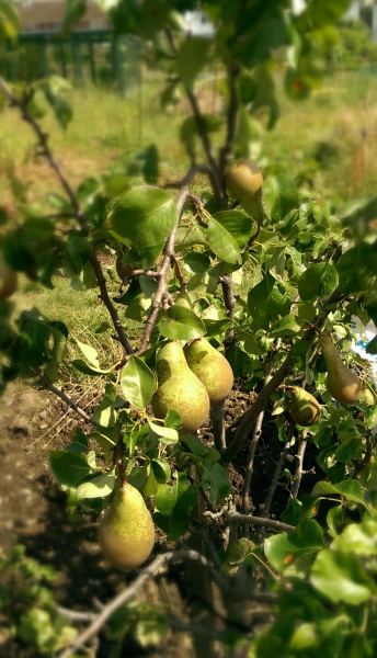 Conference Pears growing on Plot 48