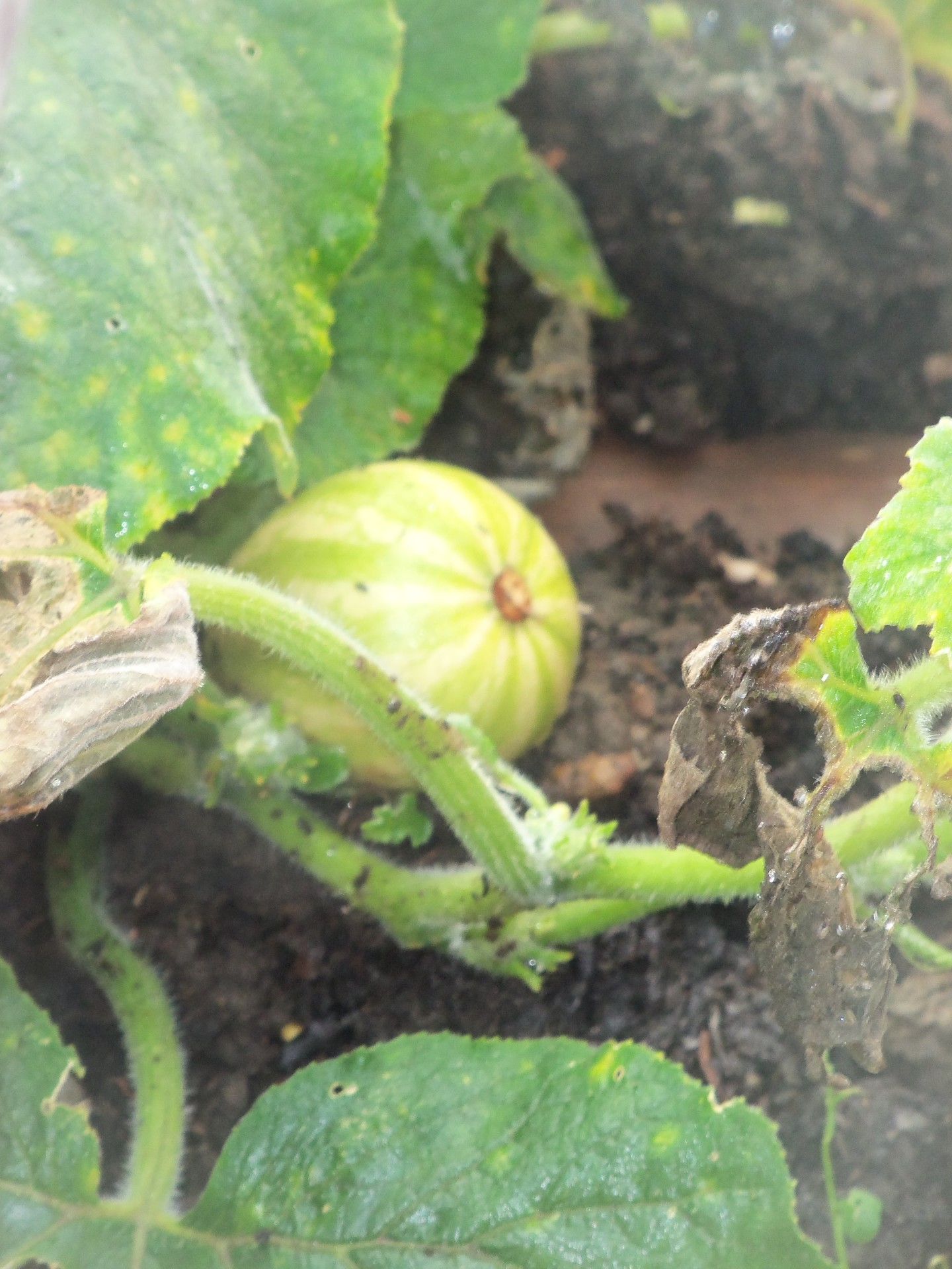 Courgette growing on Plot 48