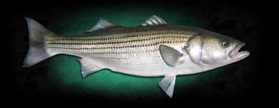 bass, flounder, bluefish, boston, fishing, streubel, boston harbor, best fishing, charter, marina bay, affordable, kids, children