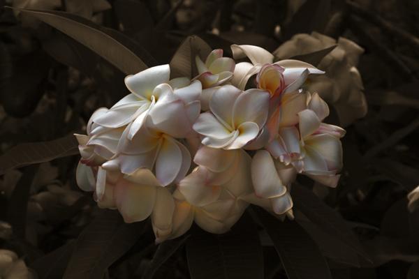 Plumeria Grove Claro Cabading