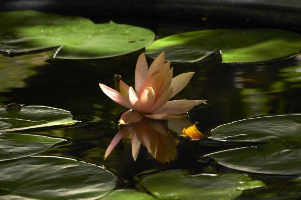 Wild Water Lilies Claro Cabading