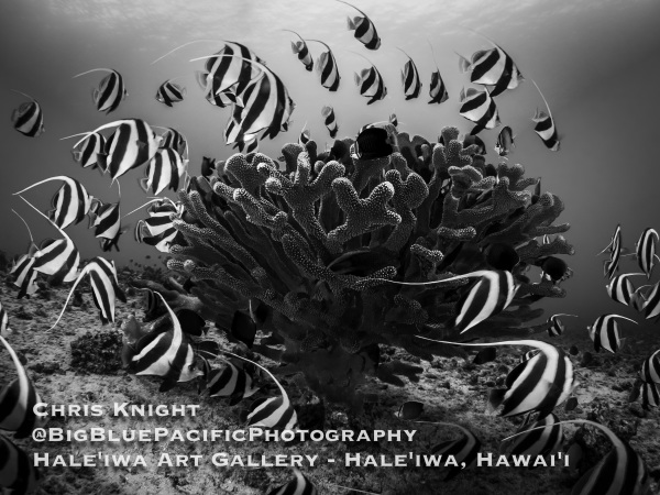 Antler Coral and Bannerfish School Chris Knight