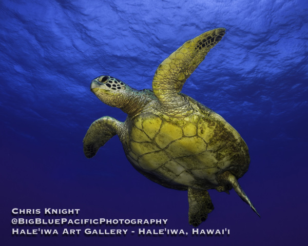 Green Sea Turtle Chris Knight