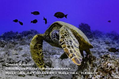Peek-a-boo Turtle Chris Knight