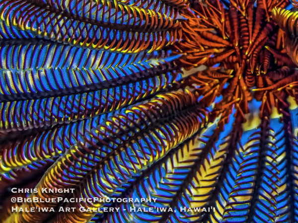 Red Crinoid Chris Knight