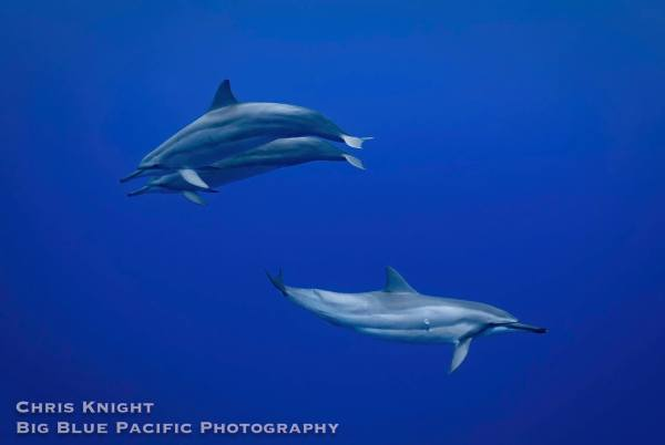Spinner Dolphins of Waikiki Chris Knight