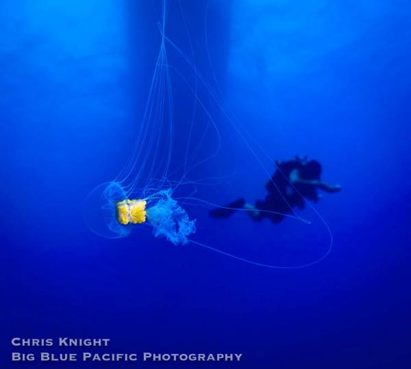 Jellyfish and Tech Diver Chris Knight