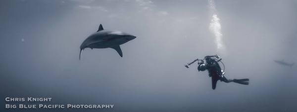 Shark Panorama 2 of 2 Chris Knight