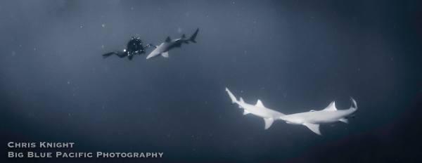 Shark Panorama 1 of 2 Chris Knight
