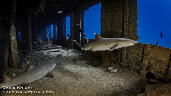 Sharks in YO Chris Knight