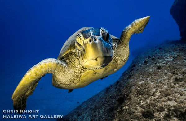 Turtle Makua Chris Knight