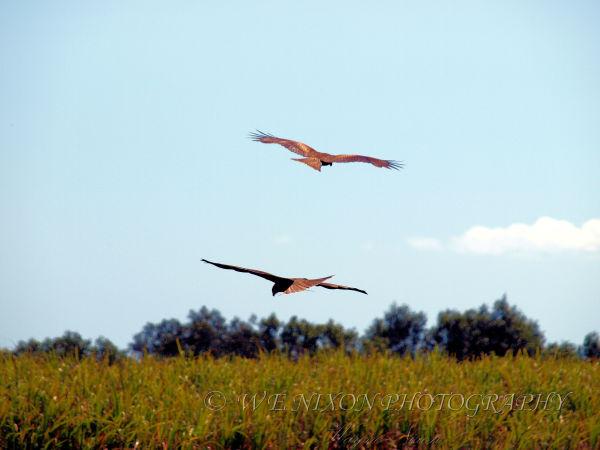 birds, farmland, wildlife, photography, square tail kite