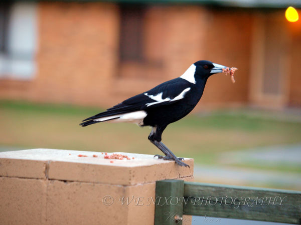 bird, magpie, wildlife, photography