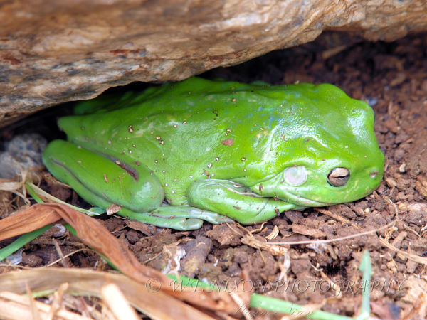 green, tree frog, hiding, rock, wildlife, photography
