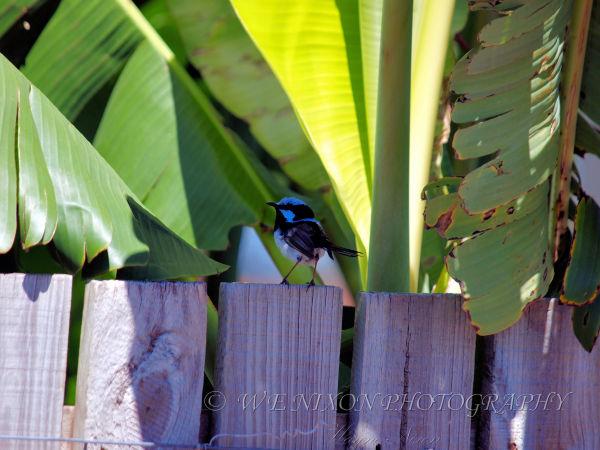 fairy wren, birds, backyard, wildlife, photography