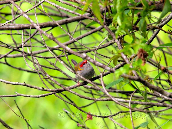 wetlands, finch, birds, wildlife, photography