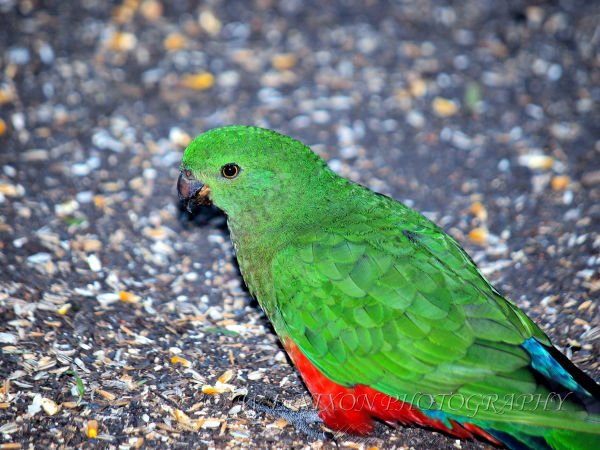 bird, parrot, wildlife, photography, green, red