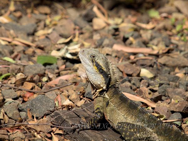 lizard, dragon, reptile, wildlife, photography
