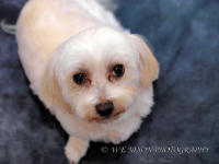 maltese, dogs, pets, portrait, photography
