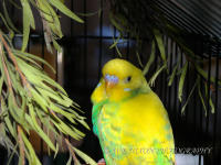 birds, budgie, portrait, pets, photography