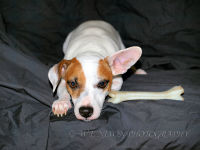 dogs, mini fox terrier, jack russell, portrait, photography, pets