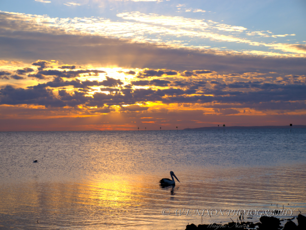 pelican, bird, landscape, sunrise, photography