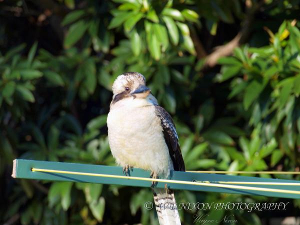 bird, kookaburra, wildlife, photography, back yard