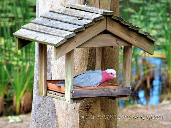 galah, bird, wildlife, parrot, backyard, Australian, photography