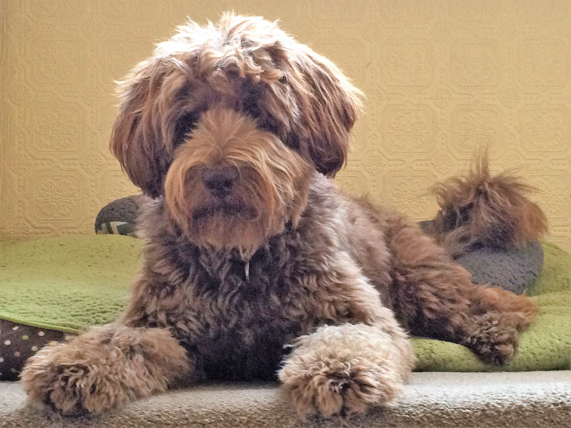 Are Doodles the best dog breed? Discuss..............
