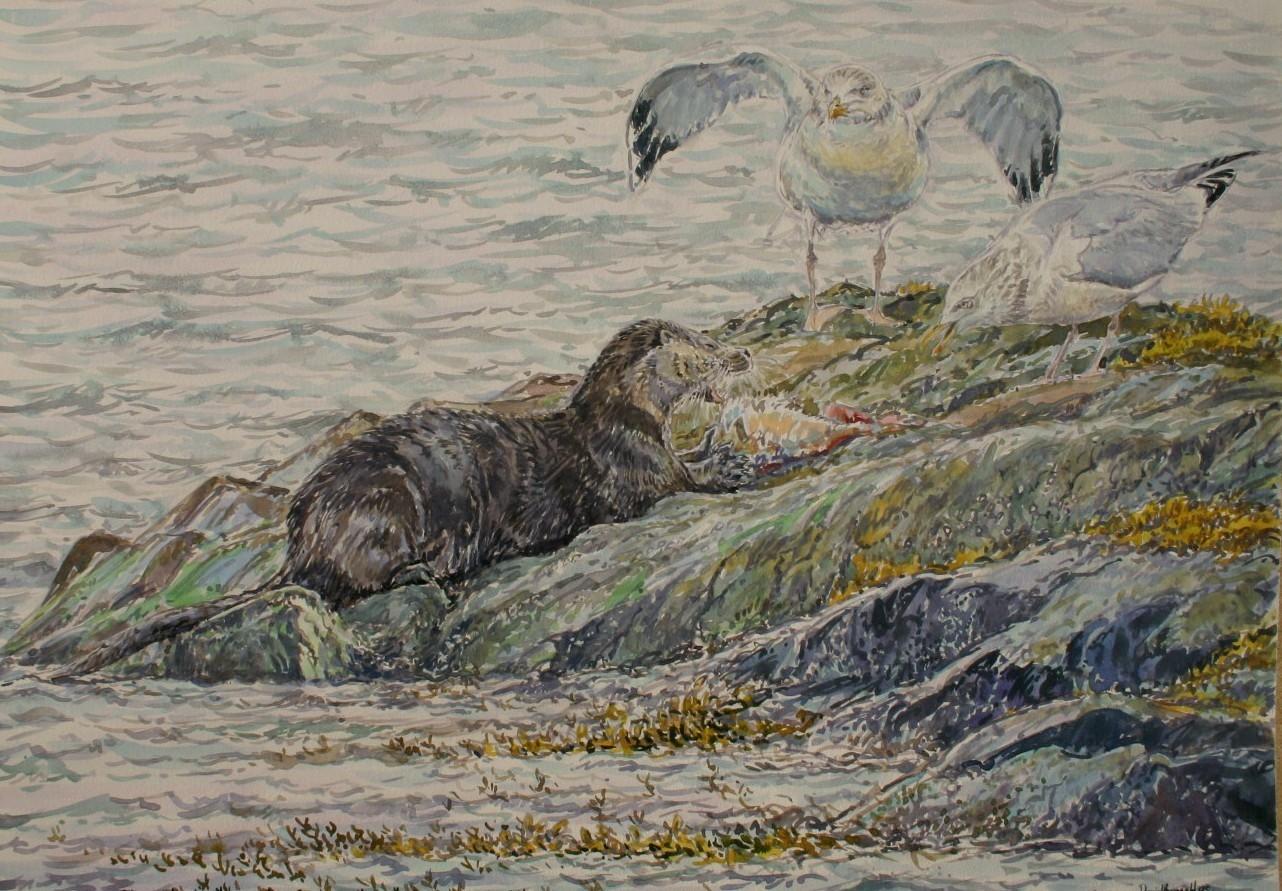 Otter and Herring Gulls, Mull
