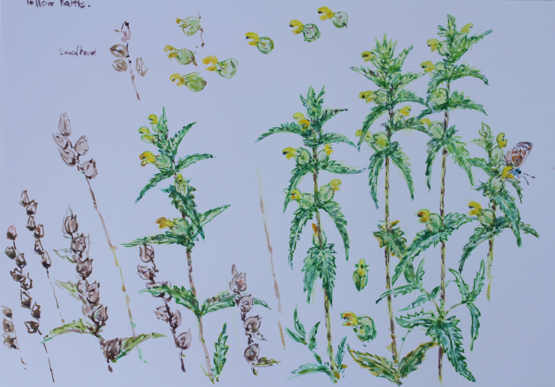 Yellow Rattle Studies
