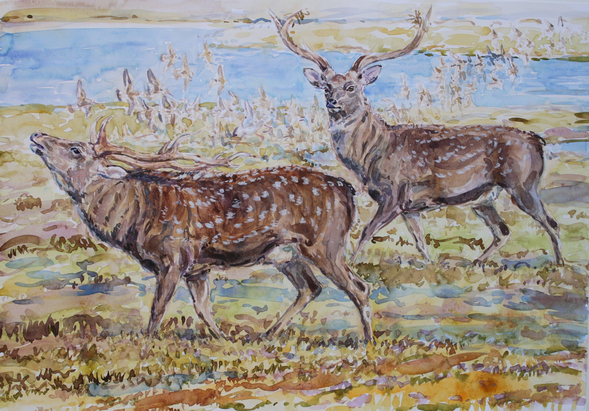 Sika Deer Rut and Godwits, Arne, Dorset