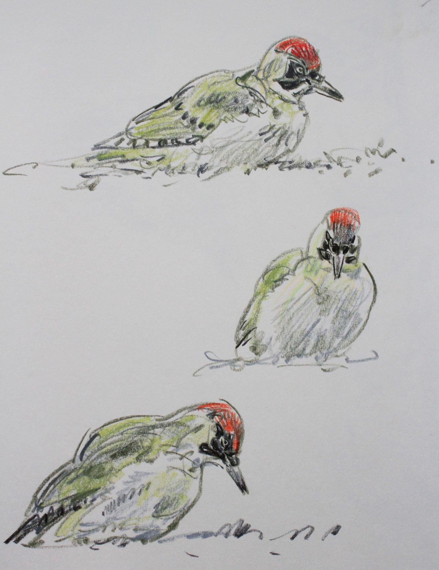Green Woodpecker Studies