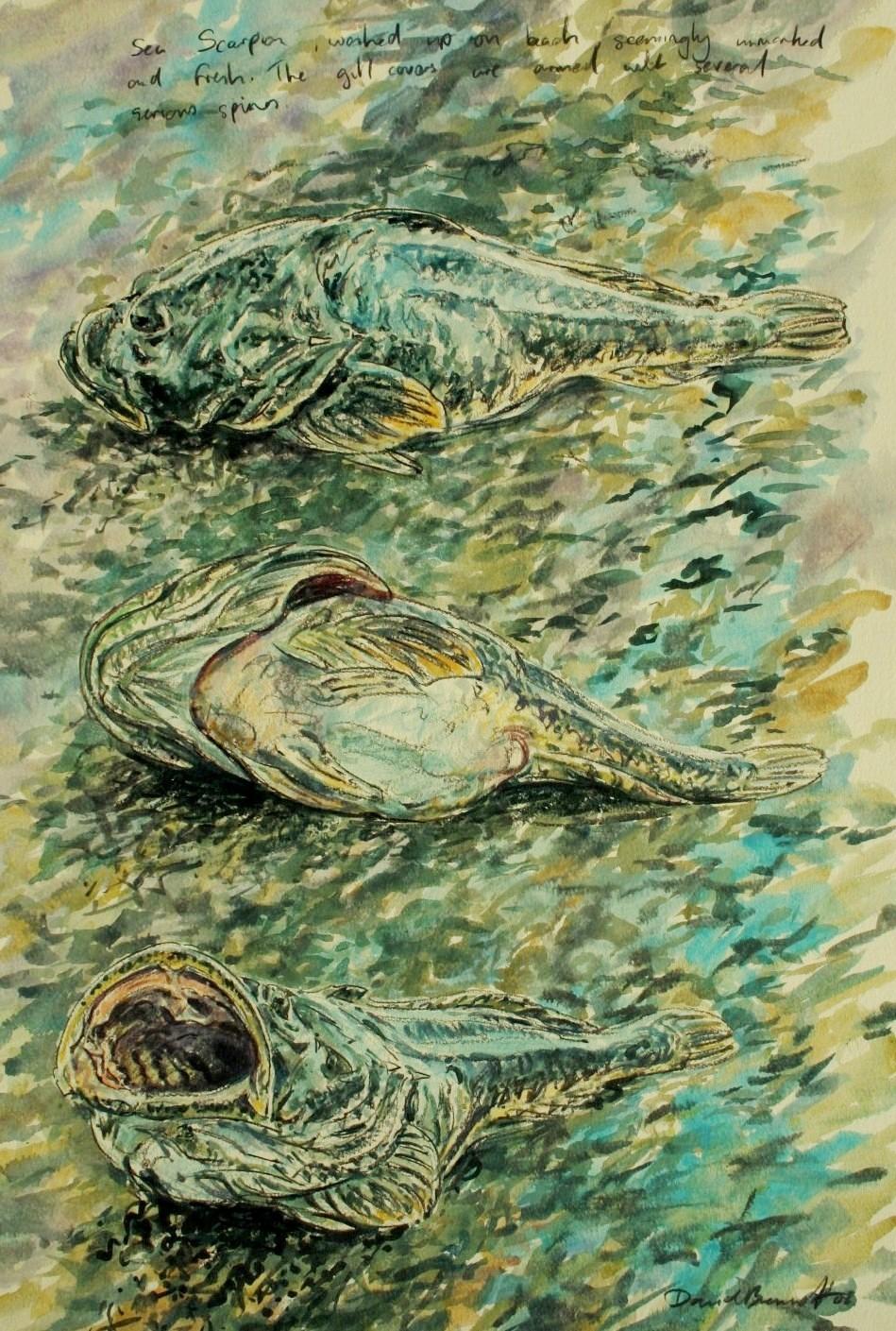 Seascorpion, Mull