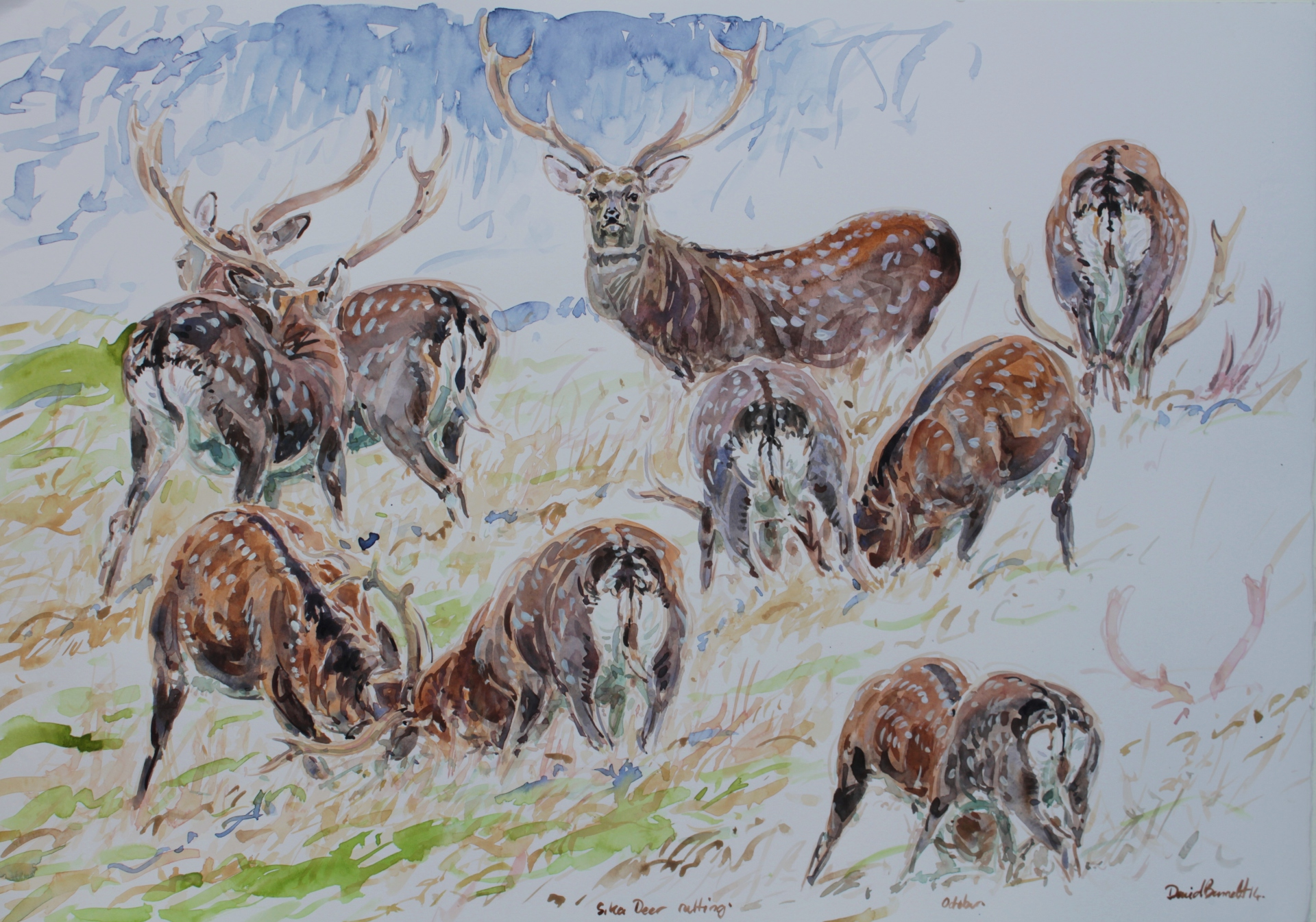 Sika Deer Rut Studies, Studley Deer Park, North Yorkshire