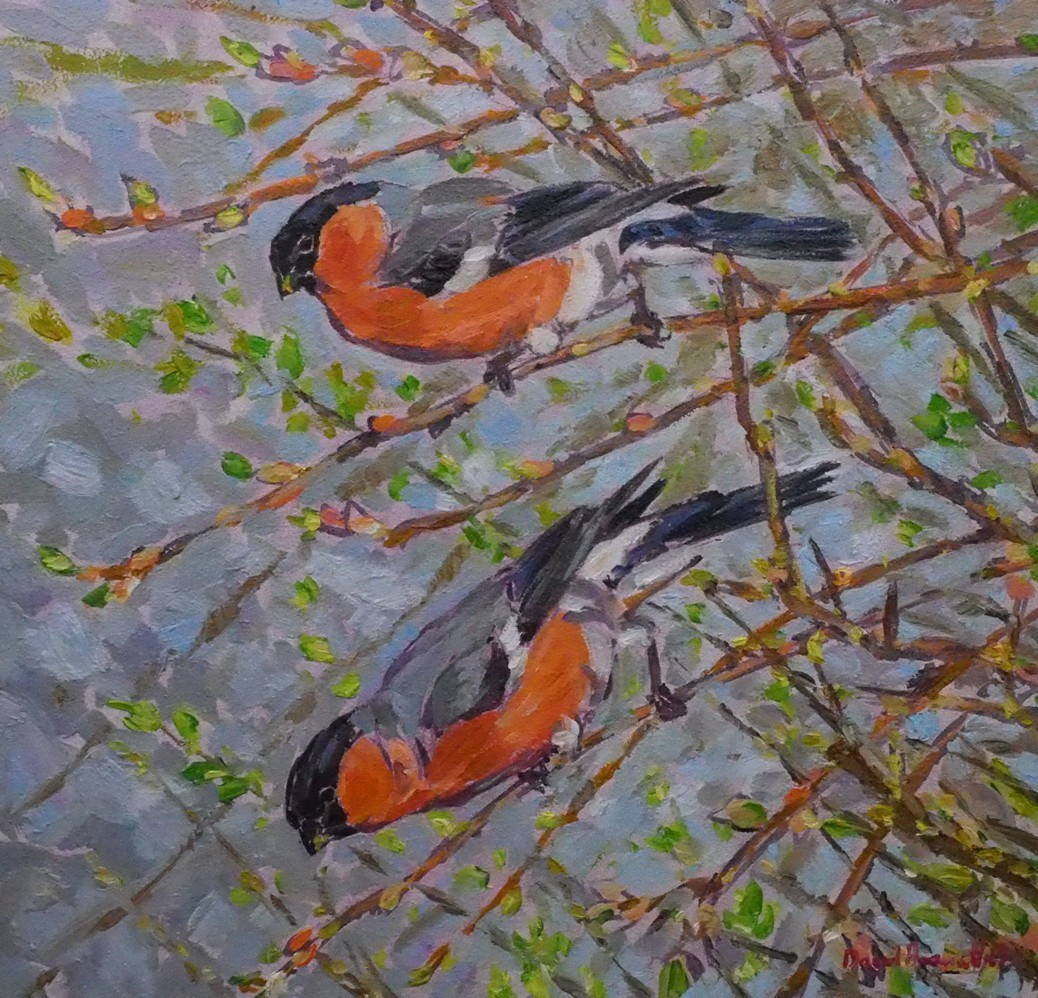 Bullfinches in Hawthorn, Marfield Wetlands, North Yorkshire