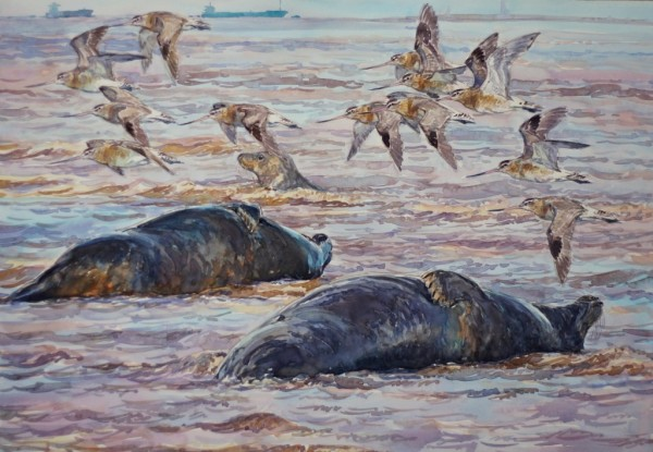 Bar Tailed Godwits and Seals, Donna Nook, Lincolnshire