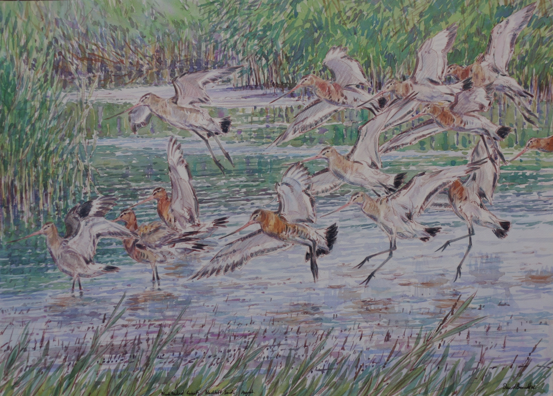 Black Tailed Godwits, Blacktoft Sands