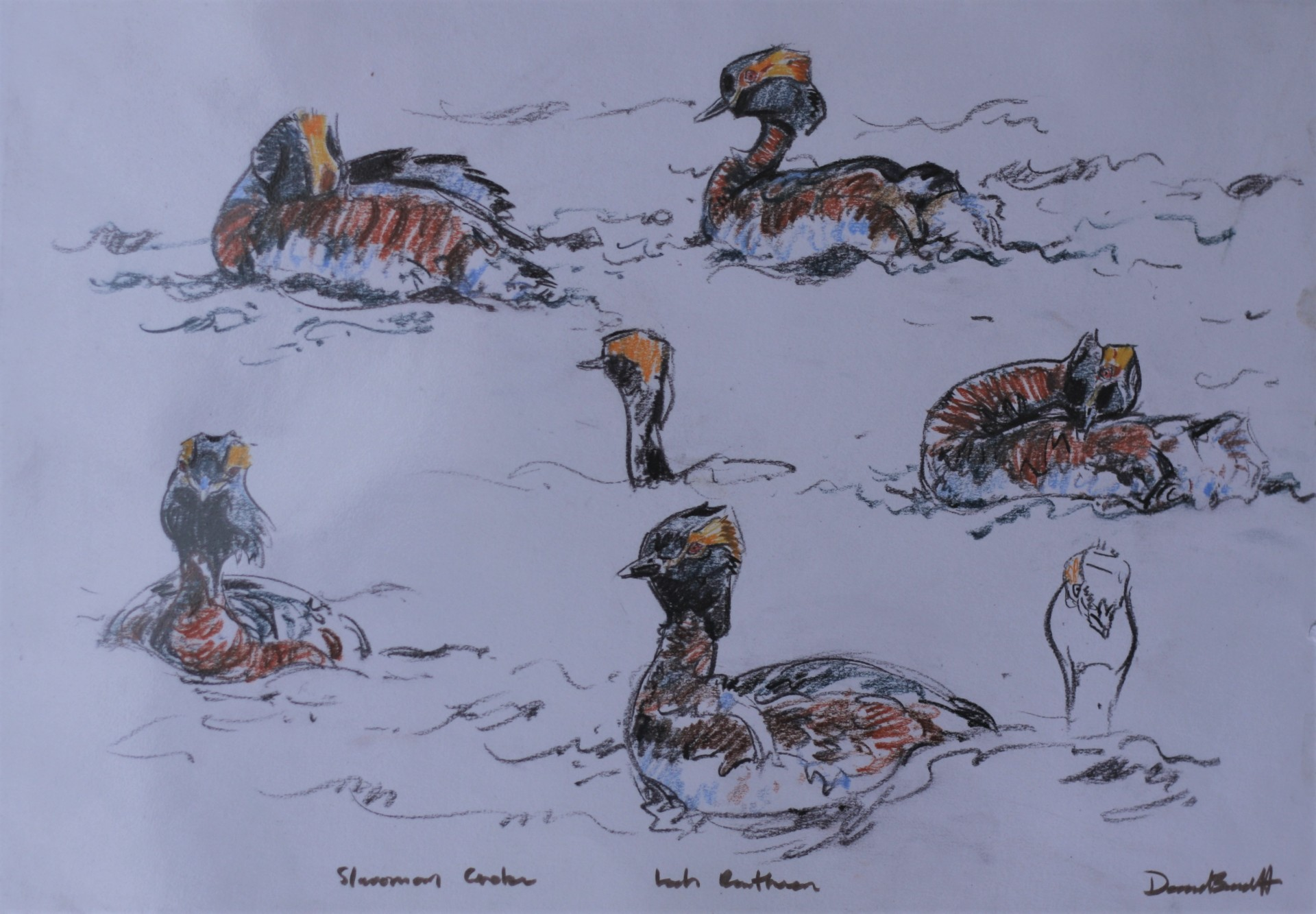 Slavonion Grebe Studies, Loch Ruthven, Highlands