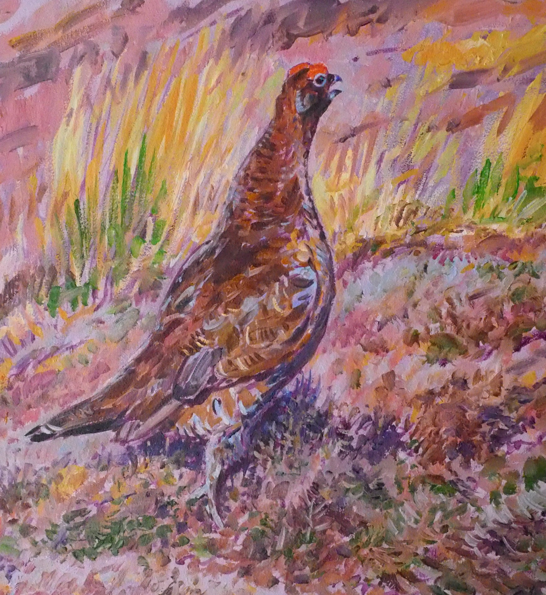 Red Grouse, Nidderdale, North Yorkshire