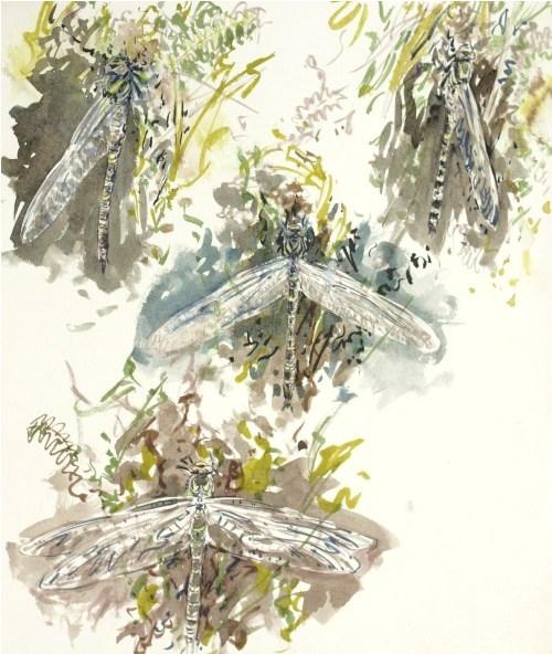 Golden Ringed Dragonfly Emerging, Mull