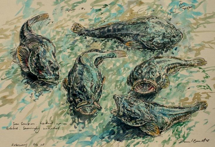 Scorpion Fish Studies Mull