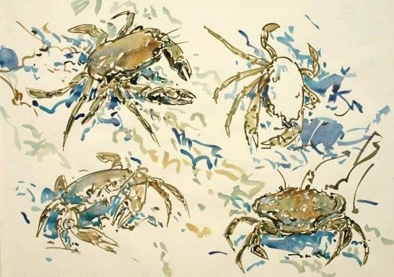 Velvet Swimming Crab Studies, Mull