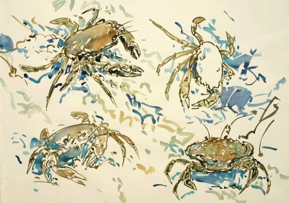 Velvet Swimming Crab Studies, Mull