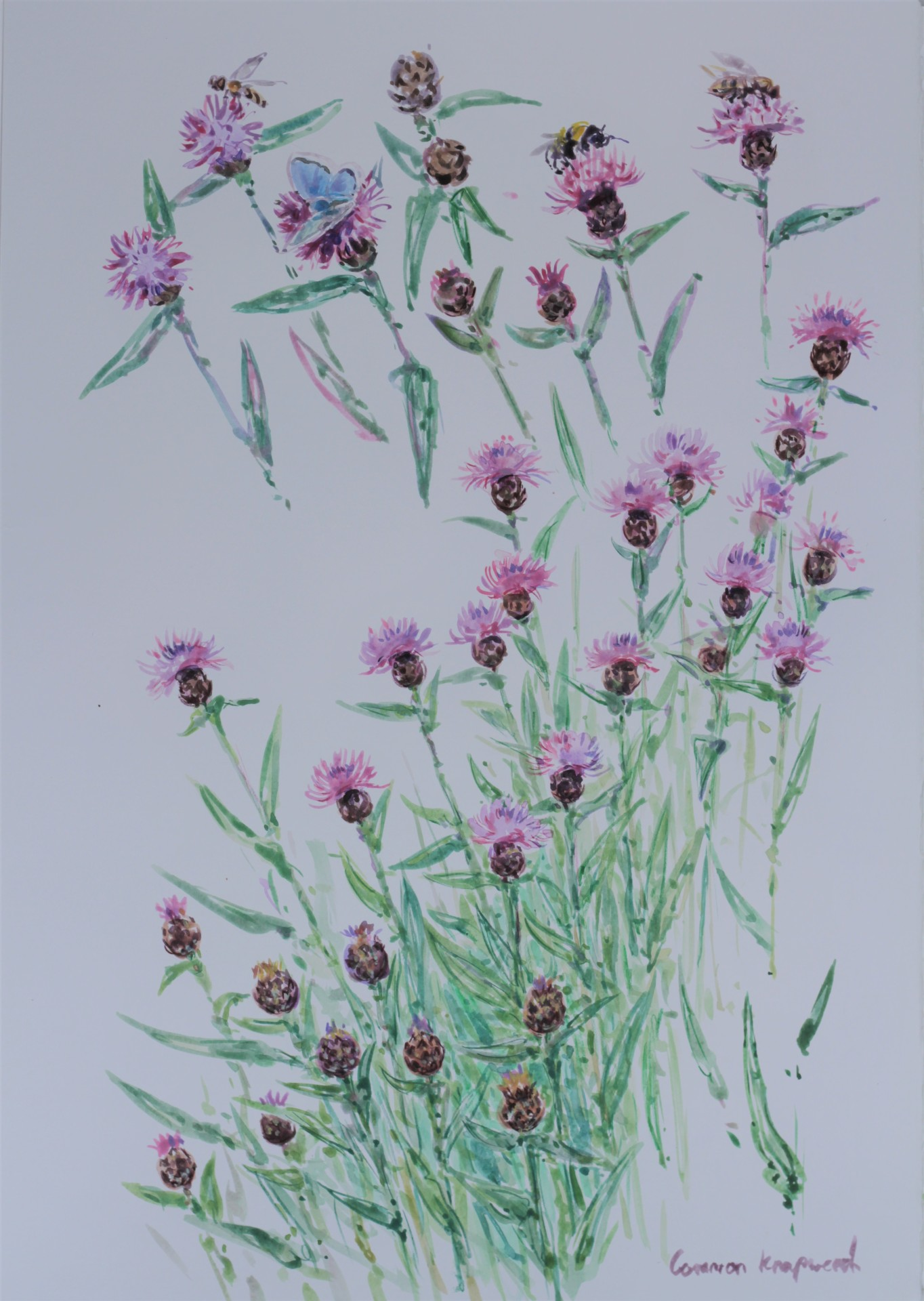 Bumble Bee on Knapweed Studies
