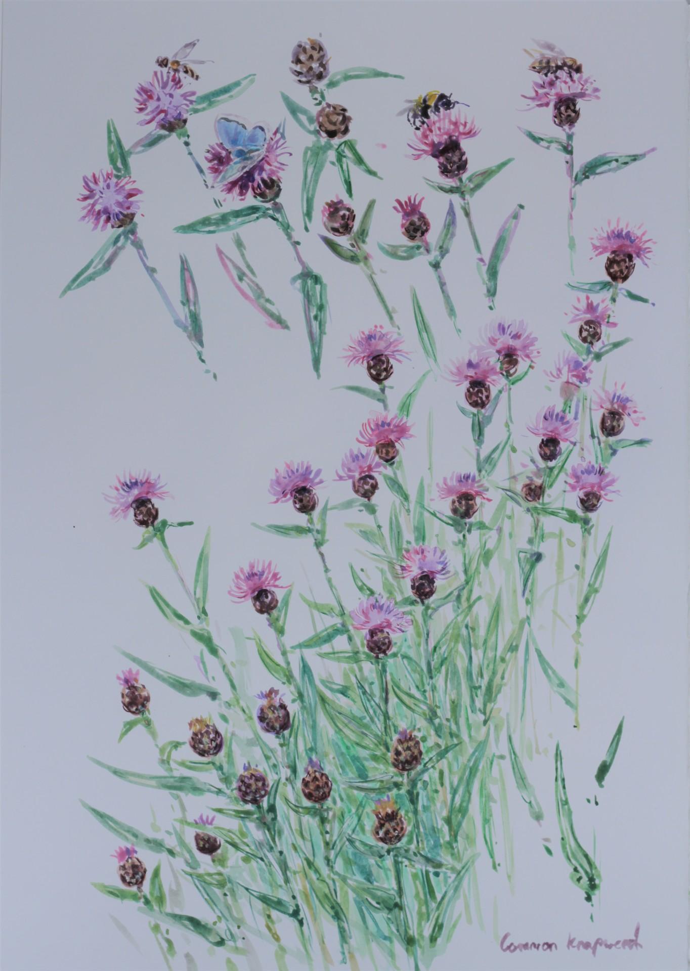 Bumble Bee on Knapweed Studies